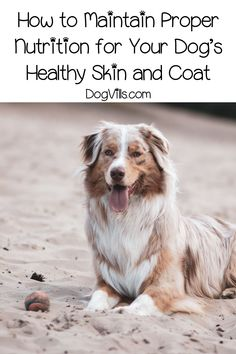 Looking for some adorable Australian Shepherd dog names? How about 95 of them? We've chosen the best inspired by all the features of this gorgeous dog! Australian Shepherd Names, Australian Dog Names, Dog Health Tips, Best Dog Training, Wild Dogs, Girl And Dog, Proper Nutrition, Shepherd Puppies, Family Dogs