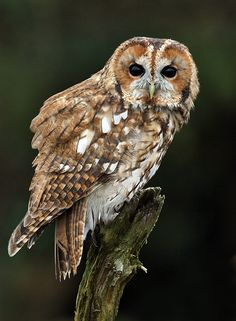 Fed onto Wild but Cute Owl Pictures :)Album in Animals Category Owl Photos, Owl Pictures, Strix Aluco, Tawny Owl, Owl Quilts, Owl Bags, Animal Categories, Barred Owl, Felt Owls