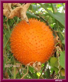 Growing Gac fruit on tree