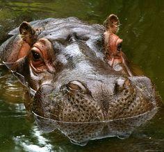 Close Details of a Large Hippopotamus