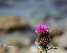 Thistle - the Butterfly's nectar