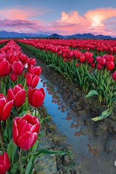 Flowers Nature, Beautiful Flowers, Nature Pictures, Beautiful Pictures, Tulip Fields, Flower Phone Wallpaper, City Landscape, Beautiful Places To Travel, Belleza Natural