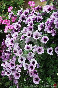 Flowering Petunia Flowers With Purple. - Download From Over 54 Million High Quality Stock Photos, Images, Vectors. Sign up for FREE today. Image: 68711822