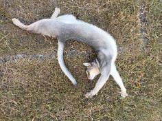 Stretchy - http://cutecatshq.com/cats/stretchy/