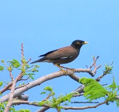 Common Myna (Acridotheres tristis) ~ photographed in Hawaii by B N Sullivan