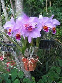 :) Beautiful cattleya orchid in clay pot on a tree. You can secure the Orchids :) Beautiful cattleya orchid in clay pot on a tree. You can secure the. -Orchids :) Beautiful cattleya orchid in clay pot on a tree. You can secure the. Tropical Flowers, Exotic Flowers, Amazing Flowers, Beautiful Flowers, Orchids Garden, Orchid Plants, Exotic Plants, Orchid Tree, Orquideas Cymbidium