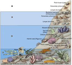 Intertidal zone animals (labeled!) Aquatic Ecosystem, Marine Ecosystem, Earth Science, Science And Nature, Layers Of The Ocean, Ocean Zones, Global Warming Climate Change, Saltwater Aquarium Fish, Sea Life Art