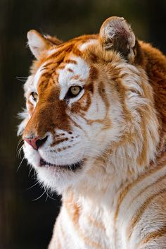 Portrait of the golden tiger by Tambako the Jaguar. A golden tabby tiger has an extremely rare color variation caused by a recessive gene and is currently only found in captive tigers.