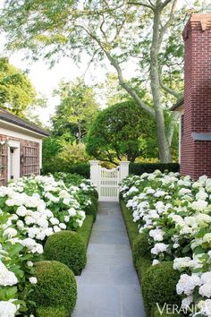 White hydrangea bordered by boxwoods