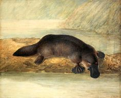 This image is a digital reproduction of a painting by John Lewin of a platypus in 1808.