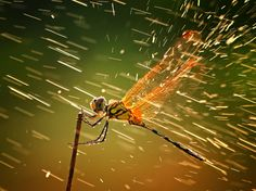 """National Geographic Photography Contest Grand Prize Winner - SPLASHING: """"This photo was taken when I was taking photos of other insects, as I normally did during macro photo hunting. I wasn't actually aware of this dragonfly since I was occupied with other objects. When I was about to take a picture of it, it suddenly rained, but the lighting was just superb. I decided to take the shot regardless of the rain. The result caused me to be overjoyed, and I hope it pleases viewers. Batam, Riau…"""
