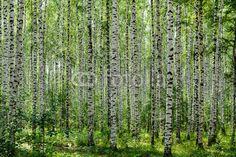 Birch Grove in the summer