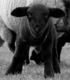 Beautiful black suffolk lamb