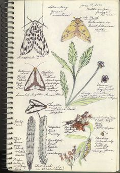 moths journal_trimmed  Journal pages by FPCC naturalist Yvonne Woulfe.
