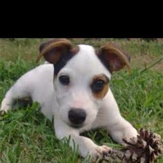 Jack Russell Terrier puppy :) I need another one