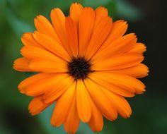 Calendula-The flower of October