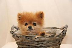 Pomeranian Rayedar dbows #pomeranian Rayedar dbowsm