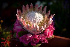 Google Image Result for http://lh6.ggpht.com/_cwUPxwTrv08/TBZ-Kms9J8I/AAAAAAAACJ8/a5ZPLr3Z_tA/KENT-MEIREIS-king-protea-bouquet.jpg
