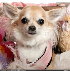 Close-up of Chihuahua dressed up and wearing pearls, 3 years old, in front of white background - stock photo
