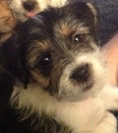 Black Jack Russell x Shih Tzu female puppy 10 weeks old and ready to go to a new…