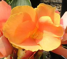 Canna Lily Seeds ★ OBERON ★ Cannaceae ★ Exotic Blooms ★ORGANIC FARMING★ 4 Seeds