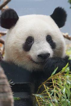 Panda In Snow, Panda Love, Baby Polar Bears, Panda Bears, Animals And Pets, Baby Animals, Cute Animals, Panda Family, Woodland Critters