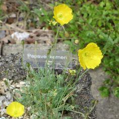 Papaver kemeri Pocket Garden, Garden Sheds, Tween, Perennials, Gardening, Rock, Flowers, Plants, Garden Tool Storage
