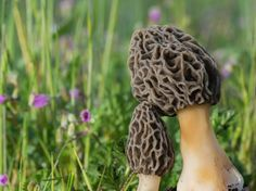 When wildflowers appear, it's close to morel time. How to find Morel mushrooms in the wild. Here in WV we call them Haystacks :) Mushroom Spores, Mushroom Cultivation, Mushroom Seeds, Mushroom Hunting, Growing Mushrooms, Organic Protein, Grow Organic, Grow Your Own Food, French Food