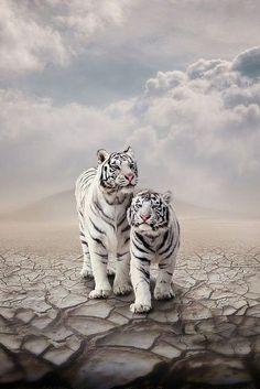 Beautiful white tigers