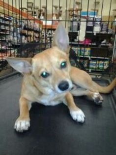 Pictures of Manny *URGENT* a Chihuahua for adoption in Warren, MI who needs a loving home. Corgi Mix, Chihuahua Mix, Chihuahuas For Adoption, Pet Adoption, Warren Michigan, Two Year Olds, Rescue Dogs, Pets, Pictures