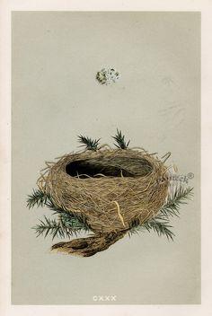 F.O. Morris Nests and Eggs Prints 1853 900 x 1344 Dartford Warbler