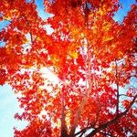 Red, red leaves ... fall's so pretty in #Frostburg! Instagram pic by @katiemccnugget