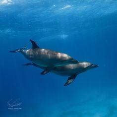 A pair - Red sea. Diving sith wild dolphins. My socials: VK: http://vk.com/vitaly_sokol FB: http://www.facebook.com/VitalySokol LJ: http://vitaly-sokol.livejournal.com