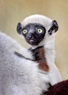 LA Zoo baby sifaka lemur