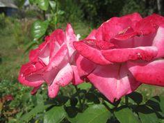 Роза ЧГ Парадиз Paradise, Небо в огне Burning Sky или Страсть Passion во время сильной жары.