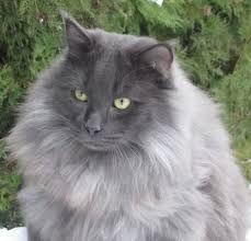 Výsledek obrázku pro Norská lesní kočka