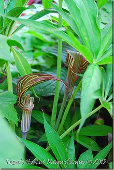 I am so excited to be able to offer a few of my Asian Arisaema selections for Spring 2014. The ubiquitous 'Jack-in-the-Pulpit are quickly becoming the much sought after woodland garden essential!