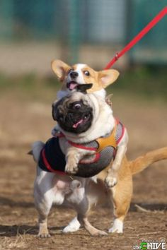 Hi Pug! I'm Corgi! Hi Corgi! My name's Pug! This one is for Jerri! Funny Dogs, Cute Dogs, Funny Animals, Cute Animals, Animal Funnies, Animals Images, Animal Memes, Baby Dogs, Dogs And Puppies