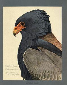 Fieldiana Zoology Special Handbooks Album Of Abyssinian Birds And Mammals Biodiversity Heritage Library