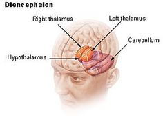 Hypothalamus gland: a portion of the brain that contains a number of small nuclei with a variety of functions; one is to link the nervous system to the endocrine system via the pituitary gland; located below the thalamus, just above the brain stem; responsible for certain metabolic processes and other activities of the autonomic nervous system; controls body temp, hunger, important aspects of parenting and attachment behaviors, thirst, fatigue, sleep, circadian cycles