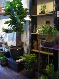 violette africaine plante zz ou pins de norfolk ces plantes d 39 int rieur sont peu pr s. Black Bedroom Furniture Sets. Home Design Ideas