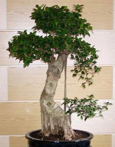Bonsái Ficus Retusa