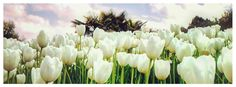 white tulips Facebook cover