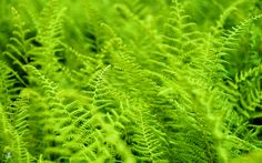 Lime Green Ferns