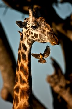 Wildlife photography: Giraffe and bird Animals Of The World, Animals And Pets, Baby Animals, Cute Animals, Exotic Animals, Wild Animals, Mundo Animal, My Animal, Wildlife Photography