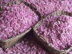 Roses petals from Grasse (France) prepared to be distilled for parfumerie.