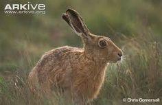 Google Image Result for http://cdn2.arkive.org/media/86/8605110D-481E-4E7D-994B-866B6B476D21/Presentation.Large/Brown-hare-.jpg