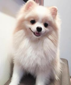 All About Bold Pomeranian Puppies Health - Hunde, Dogs - Spitz Pomeranian, Cute Pomeranian, Pomeranians, Pomchi Puppies, Cute Funny Animals, Cute Baby Animals, Cute Dogs And Puppies, Baby Puppies, Doggies