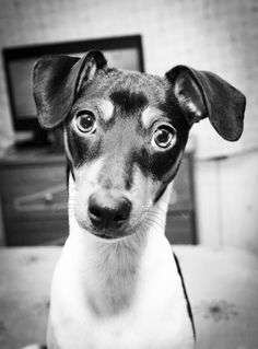 Perry the Chilean Fox Terrier
