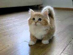 Munchkin Kitten.